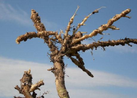 Verdickte Wurzeln Bei Einer Kohlpflanze Kohlhernie