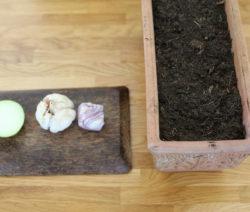 Gemüseabfälle Von Kohlrabi Zwiebel Und Knoblauchzehen In Erde Einpflanzen