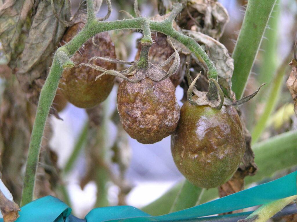 Tomatenfrüchte an Pflanze mit Kraut- und Braunfäule
