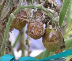 Kraut Und Braunfäule Bei Tomaten