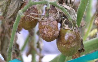 Tomaten: Krautfäule Und Braunfäule Vorbeugen Und Bekämpfen