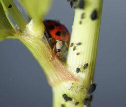 Marienkäfer Gegen Graue Blattläuse