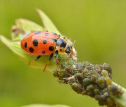 Nützling Marienkäfer Frisst Blattläuse