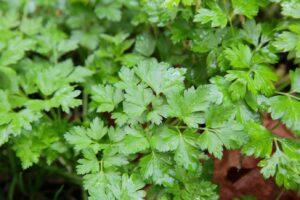 Petersilie Pflanze Im Garten