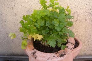 Petersilie Im Garten Im Topf Anpflanzen