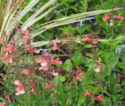 Pfirsichsalbei Salvia Greggii