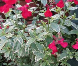 Pfirsichsalbei Salvia Greggii Sorte Desert Blaze