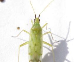 Raubmilbe Macrolophus Rubi