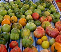 Verschiedene Im Freiland Angebaute Tomatensorten