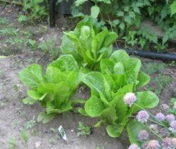Romanasalat Im Garten Anbauen
