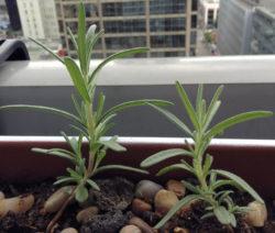 Rosmarin Jungpflanze Auf Fensterbank