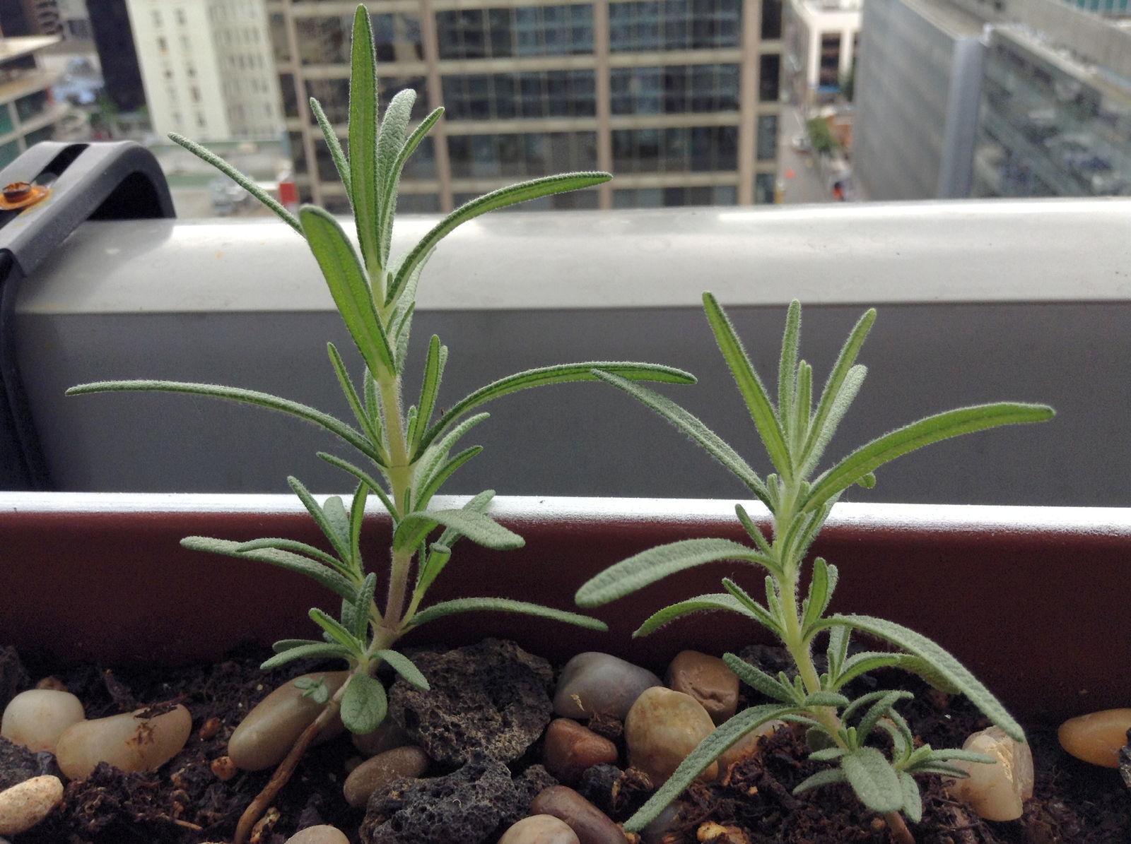 Rosmarin Herkunft Und Anbau Im Garten Sowie Im Topf Plantura