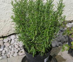 Romarin Im Topf Anpflanzen