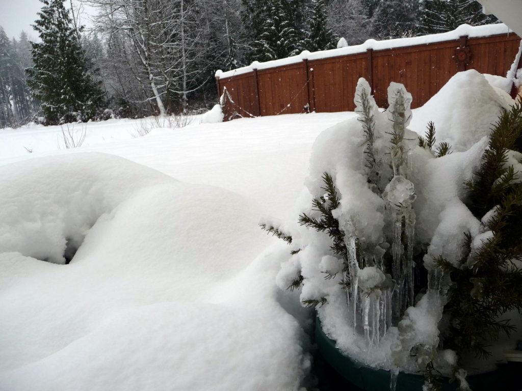 Rosmarin im Winter mit Schnee im Garten