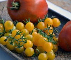 Saatgut Aus Tomaten Selber Gewinnen