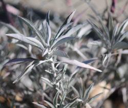 Salvia Apiana Indianischer Räuchersalbei
