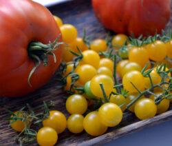 Samen Aus Eigenen Tomaten Entnehmen Und Aufbewahren