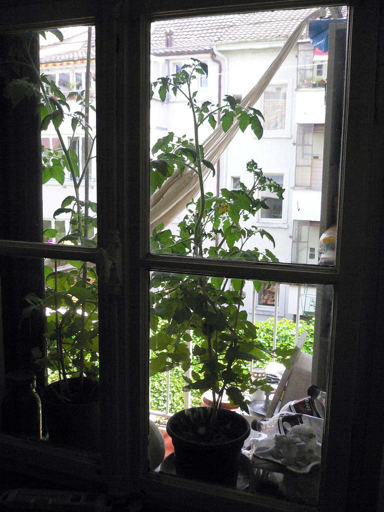 tomaten anbau auf terrasse und balkon plantura. Black Bedroom Furniture Sets. Home Design Ideas
