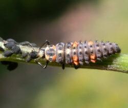 Siebenpunkt Marienkäfer Coccinella Septempunctata Gegen Blattläuse