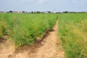 Ein Feld Mit Spargel