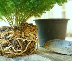 Spargelpflanze Ausgegraben - Apple_Mac