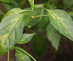 Blätter Mit Spinnmilbenbefall