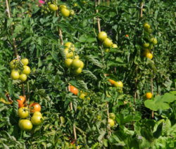 Grüne Tomaten An Stab Gebunden Stabtomaten
