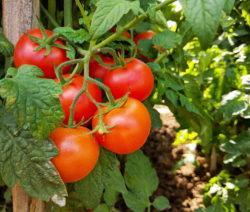 Reife Rote Tomaten Stabtomaten
