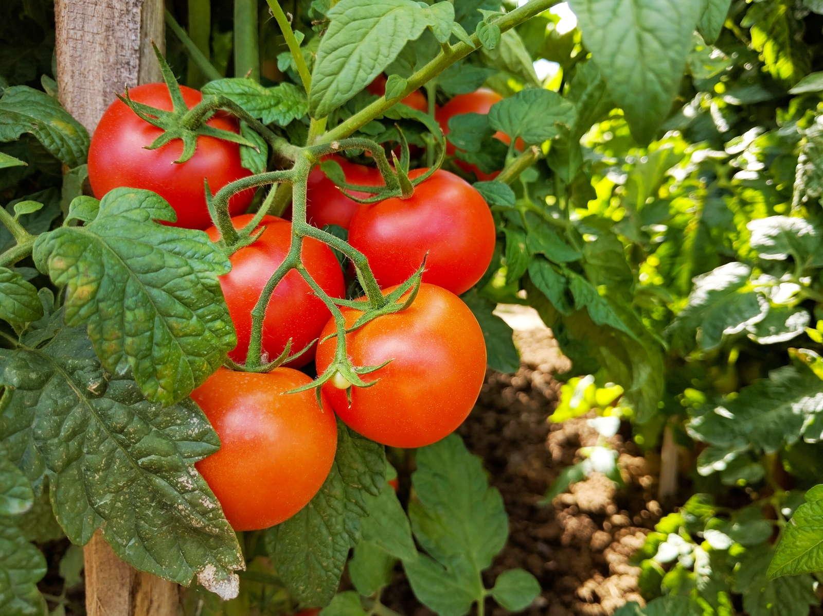 tomatensorten die 50 besten altbew hrten neuen sorten. Black Bedroom Furniture Sets. Home Design Ideas