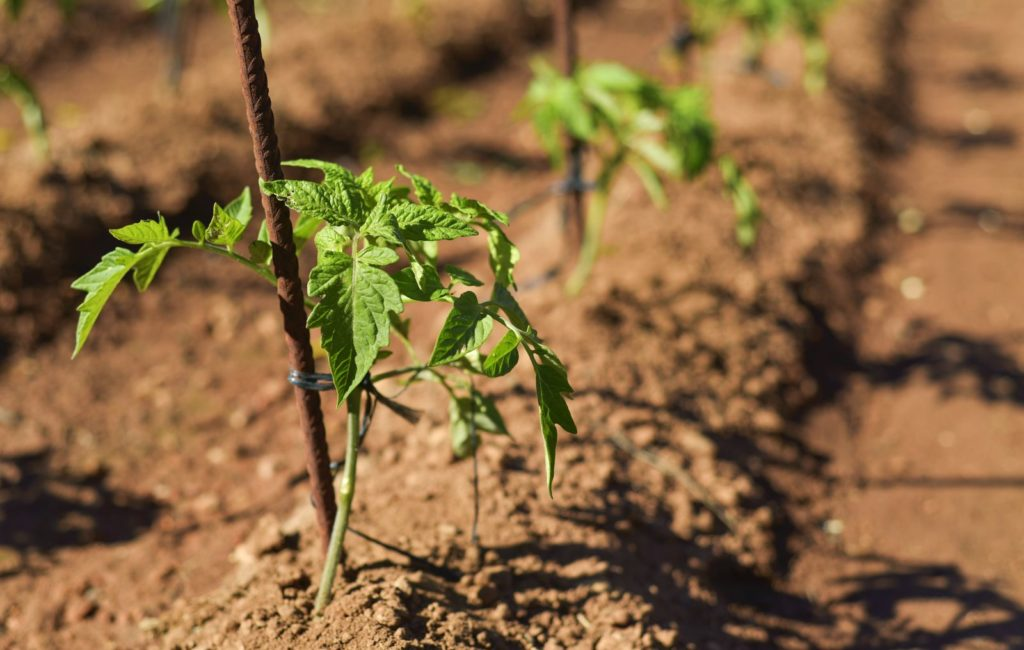 Tomate auspflanzen