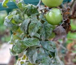Echtem Mehltau Auf Tomatenpflanze Mit Früchten