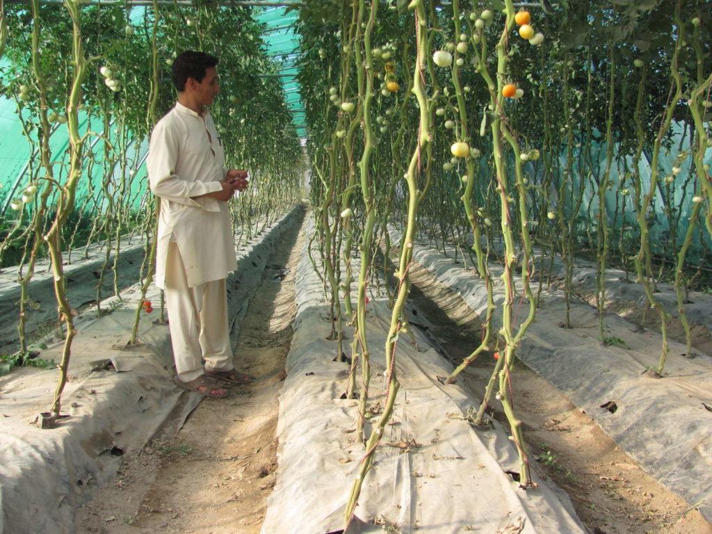 indeterminierte Tomatensorte in einem Gewächshaus