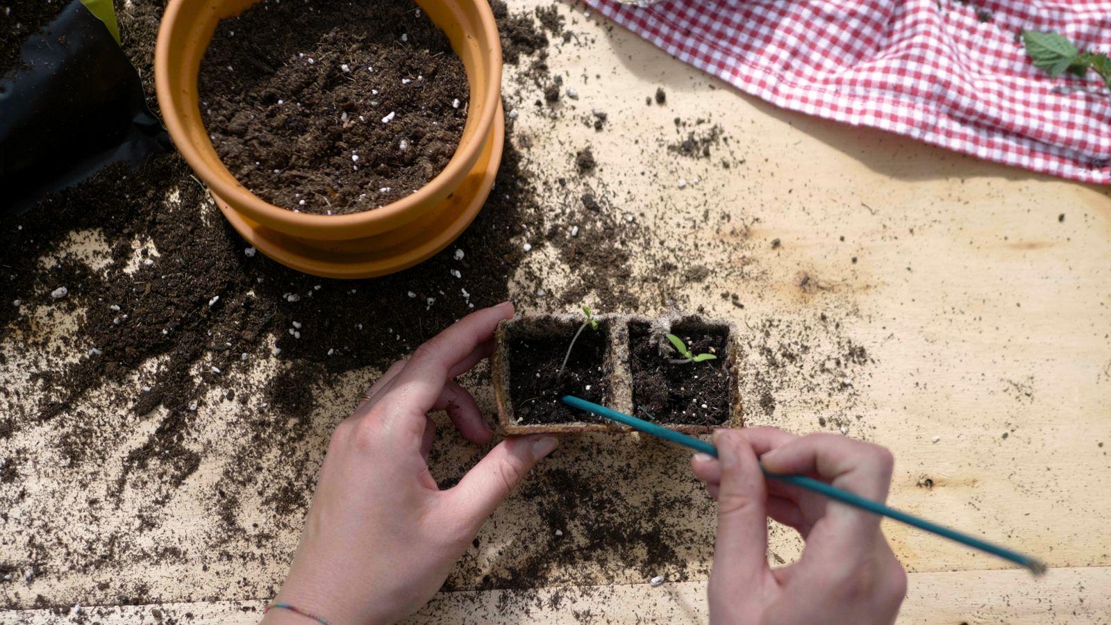 Tomaten Aussaen Pikieren Auspflanzen Anleitung Mit Video Plantura