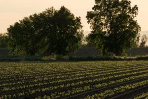 Feld Mit Tomaten In Reih Und Glied