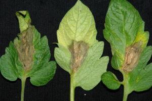Grauschimmel Botrytis Cinerea Auf Tomatenblatt