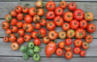 Verschiedene Rote Und Grüne Tomaten Aus Dem Freilandanbau