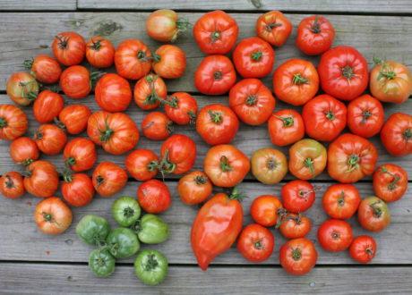 Tomaten Werden Nicht Rot: Was Tun?