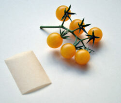 Tomatensamen Saatgut Gewinnen