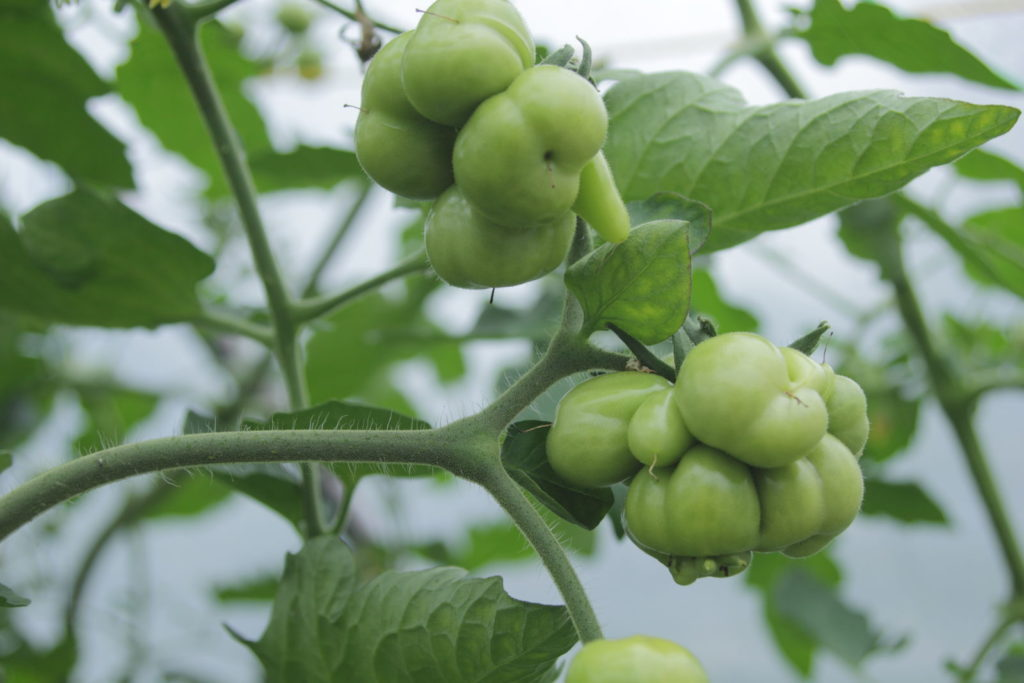 Tomatensorte Reisetomate