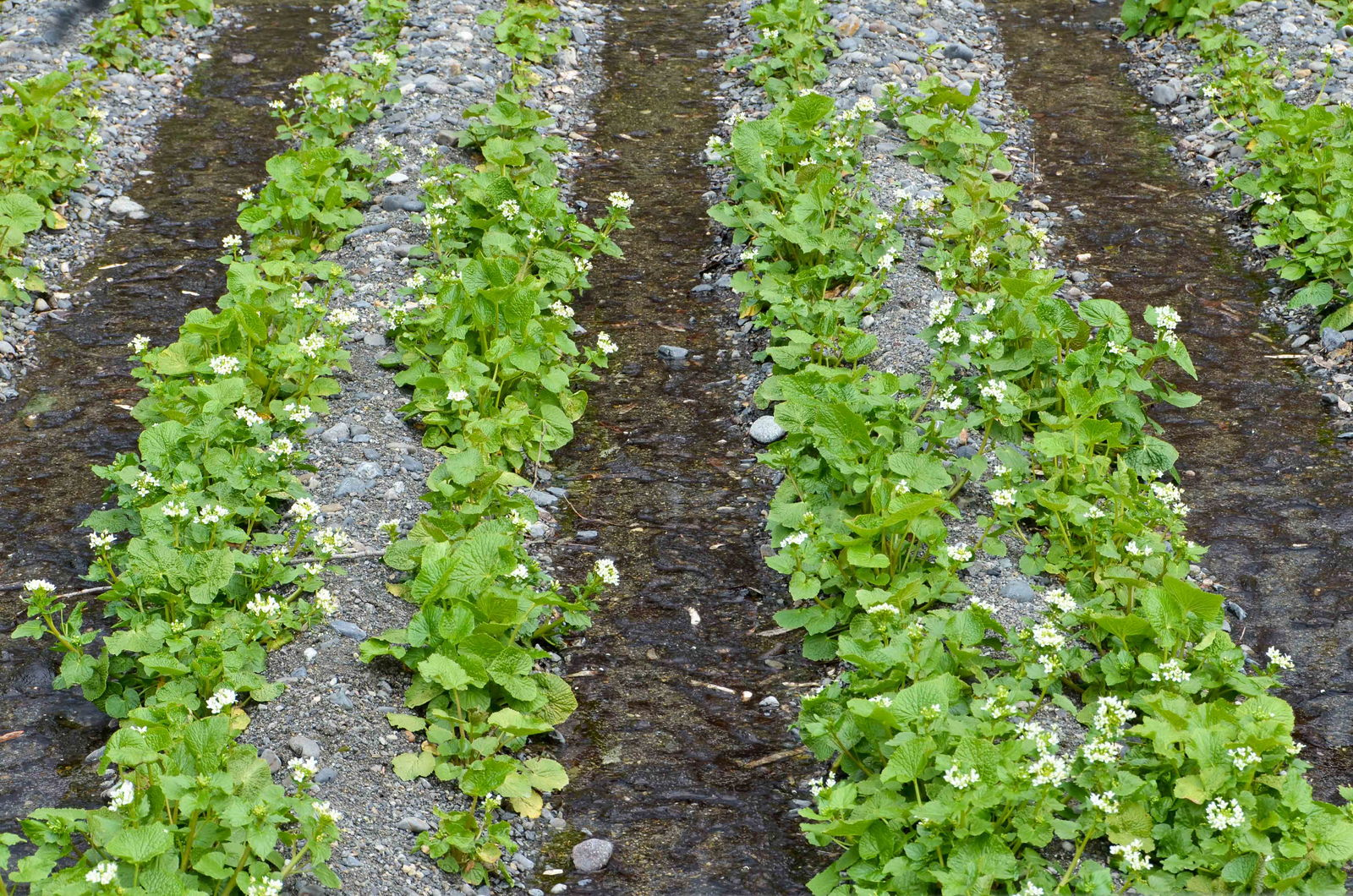 Wasabi Herkunft und Anbau des japanischen Meerrettichs  Plantura # Wasbak Aarden_203005