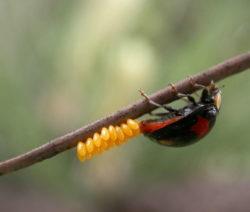Asiatischer Marienkäfer Bei Der Eiablage