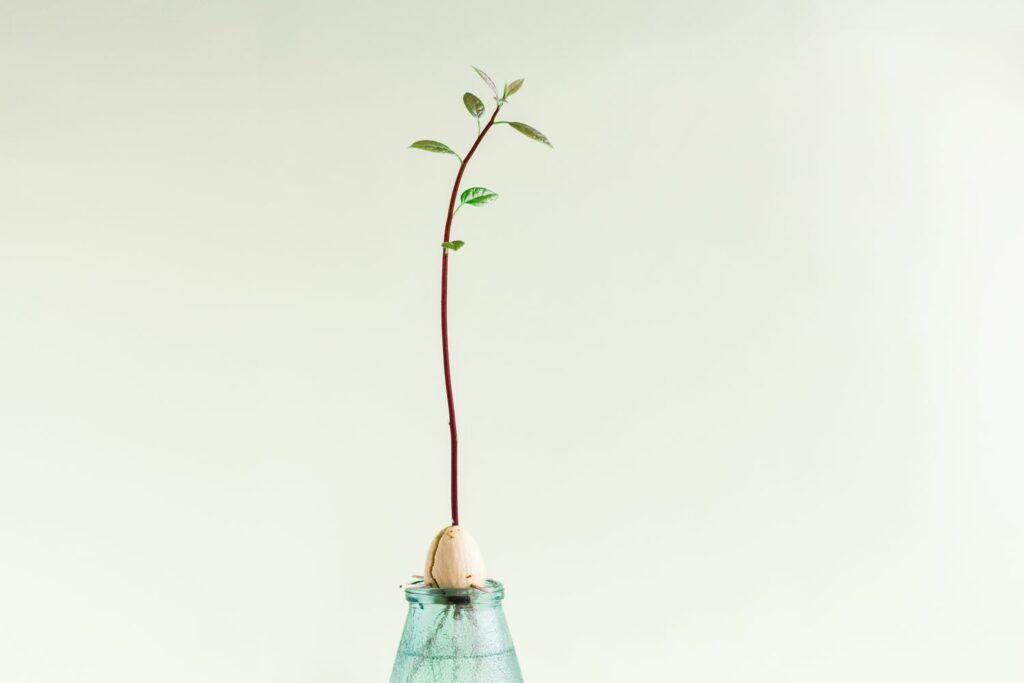 Keimling der Avocadopflanze