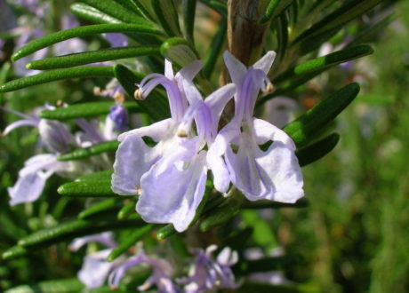 Blühender Rosmarin Blüte