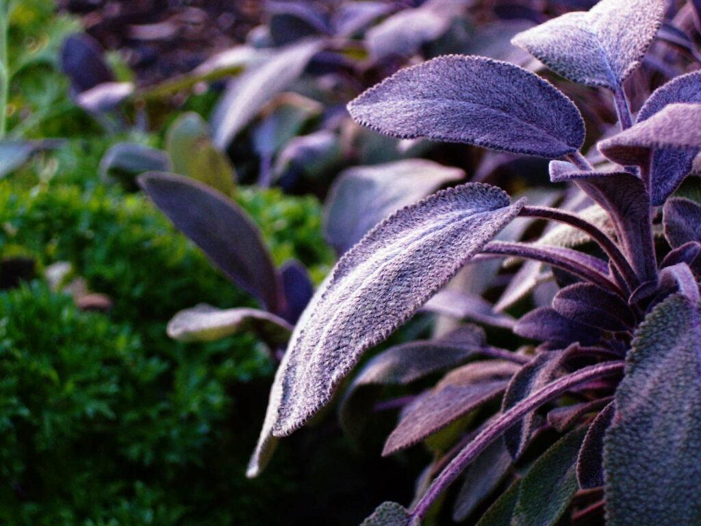 dunkelvioletter Salbei