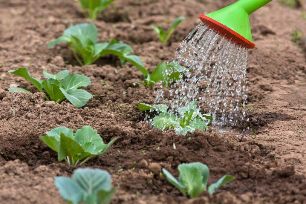 Junge Pflanzen werden mit Gießkanne gegossen