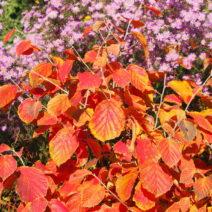 Zaubernuss Im Herbst Rotes Herbstlaub