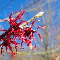 Hamamelis Japonica Herbstlaub Zaubernuss Herbst