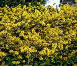 Zaubernuss Sorte Pallida Gelbe Blüten