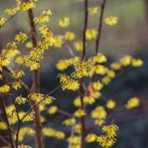 Zaubernuss Äste Gelbe Blüten