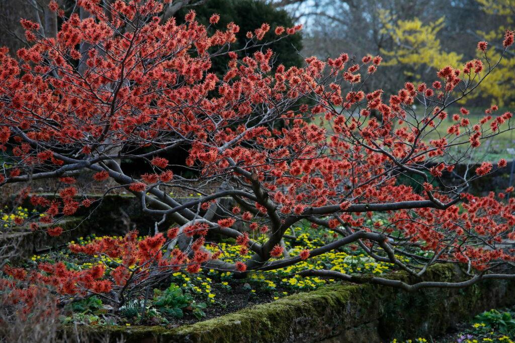 Zaubernussstrauch rot Zaubernuss im Garten